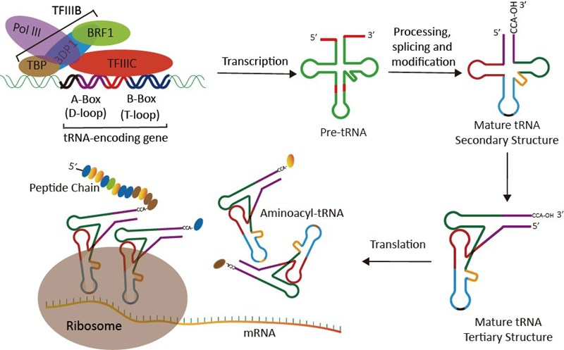 1tRNA_Research_Background_Review