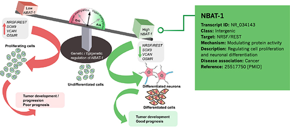 Cancer-associated lncRNA NBAT-1
