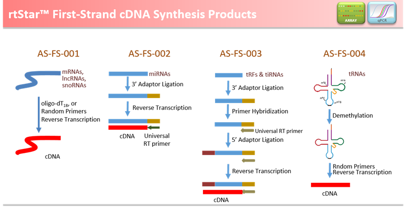 synthesise cdna A reverse transcriptase (rt) is an enzyme used to generate complementary dna (cdna) from an rna template, a process termed reverse transcription.