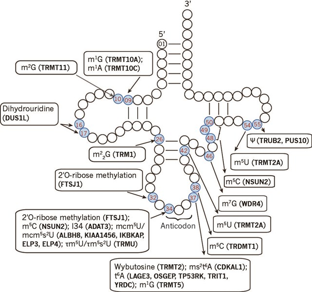 tRNA_structure_and_modification(News_Gothic_MT)