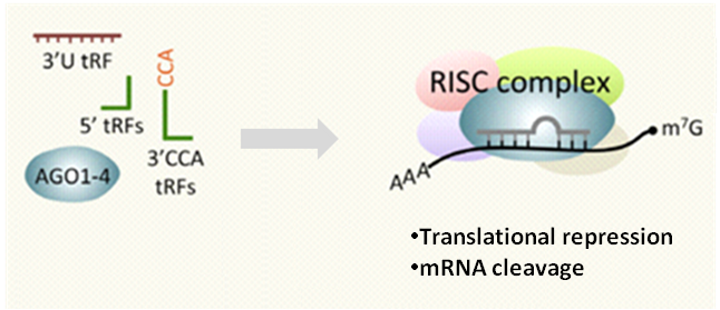 tRF___tiRNA_Small_noncoding_RNAs_02